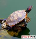 做梦梦见乌龟