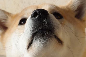 母柴犬的名字叫什么好听