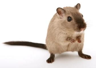 宠物鼠叫什么名字好听