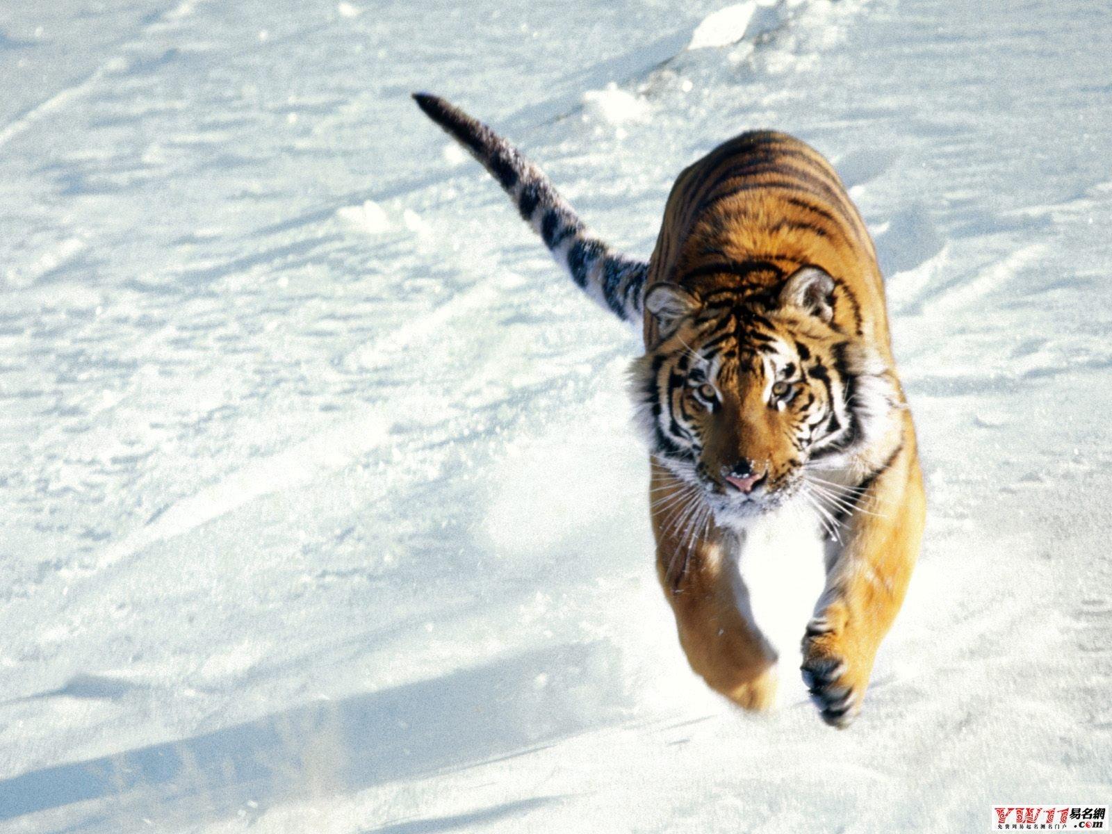 周公解梦梦见老虎代表什么?有什么含义?
