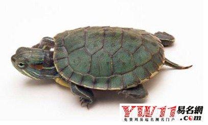 商人梦见乌龟,生意兴隆,生意进展很顺利;男人梦见乌龟,能交好运;女人