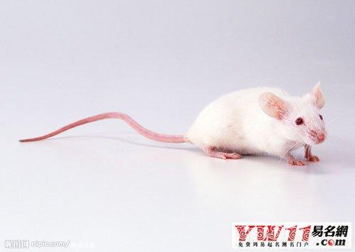 梦见老鼠_梦到老鼠_做梦梦见老鼠是什么意思-周公解梦