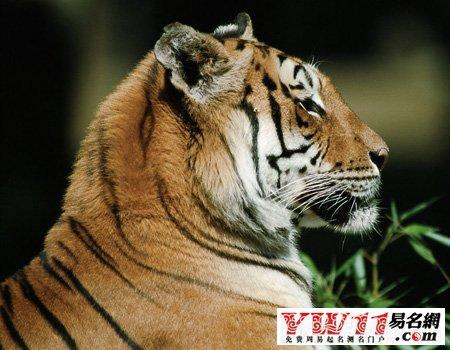 女人梦见老虎代表什么名字