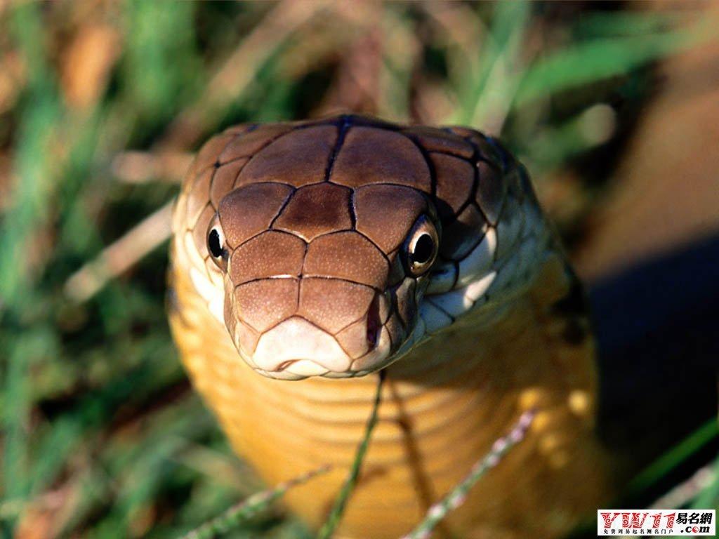 [梦见吃蛇肉]梦见吃蛇