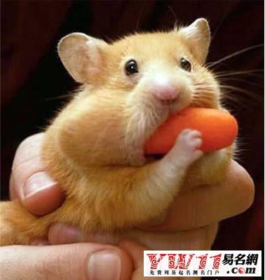 家养鼠类动物名称及图片