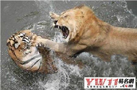 周公解梦梦见老虎狮子