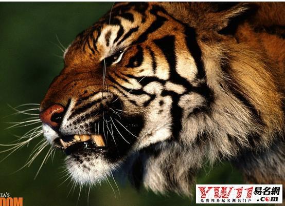 梦见被狮子老虎追_梦见被老虎追-起名网