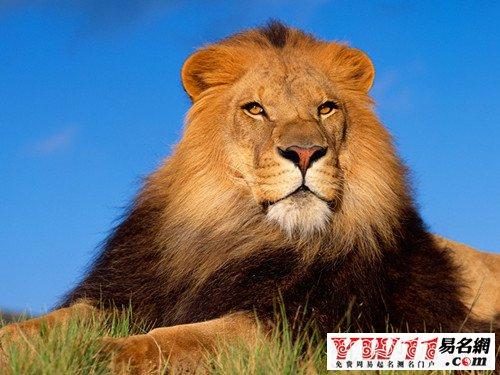 梦见被狮子追