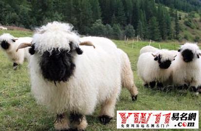 羊的年份之属木的羊(2003年、1943年、2015年)   属木的羊有细腻