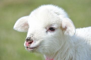 怀孕梦见一头羊快生了