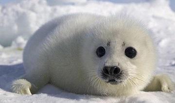 【梦见海豹在水里游】梦见海豹