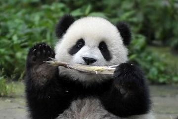 大熊猫 动物 360