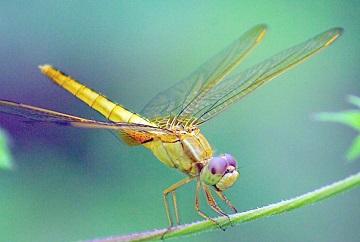 【梦见蜻蜓飞是什么意思】梦见蜻蜓
