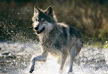 做梦梦到被狼追