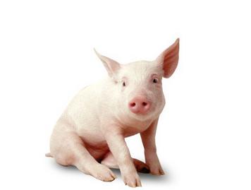 起名网 周公解梦 动物 > 梦到猪       猪是人类养殖的一种哺乳动物