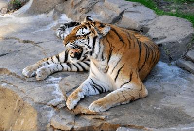 梦见养老虎