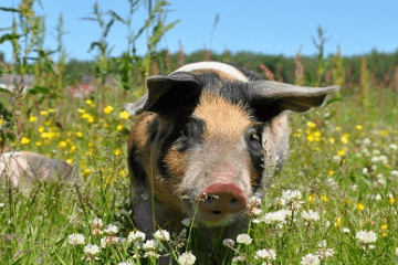 荷兰猪宠物取名字好听